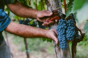 Подготовка к профилактике винограда