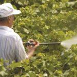 Календарь-схема обработки винограда от болезней и вредителей