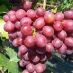 Сорт винограда «Учитель»