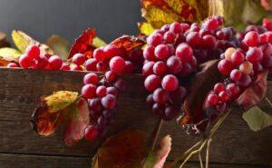 Урожай винограда памяти Учителя