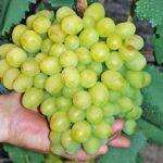 Сорт винограда «Кеша»