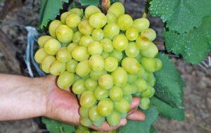 Виноград Кеша описание сорта