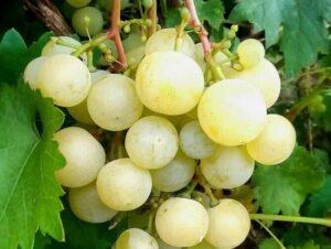 Ягоды винограда Кеша
