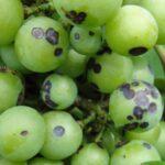 Как победить антракноз винограда?