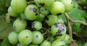 Антракноз на ягодах винограда