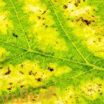 Хлороз винограда. Причины и лечение