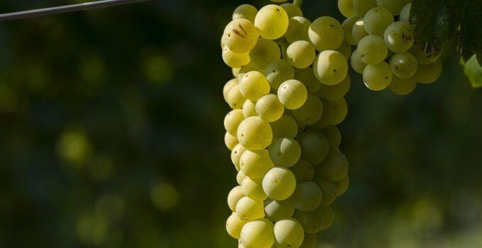 Как определить созревание винограда