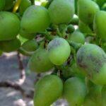 Как лечить болезнь винограда Оидиум?