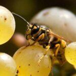 Как защитить виноград от ос?