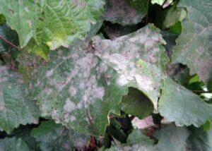 Симптомы оидиума на винограде