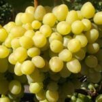 Сорт винограда «Алешенькин»
