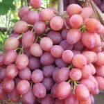 Сорт винограда «Экстра»