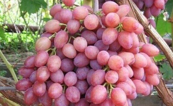 Виноград сорта Экстра