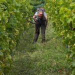 Какие есть фунгицид для винограда?
