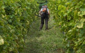 обработка винограда системными фунгицидами