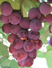 ягоды винограда Экстра