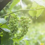 Как защитить виноград от дождей?