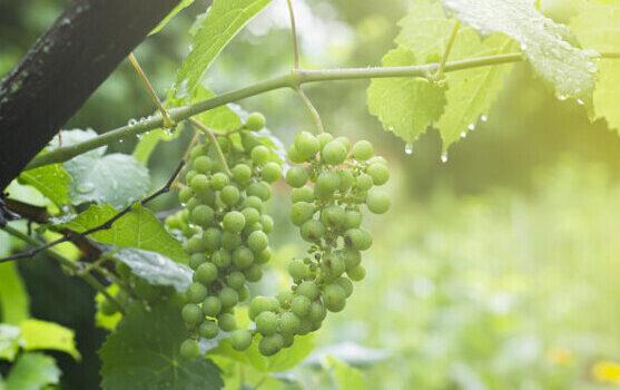 Дождь на винограднике