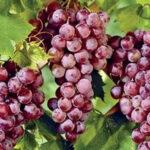 Сорт винограда «Рилайнс Пинк Сидлис»