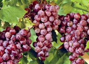 Грози винограда Пинк Сидлис
