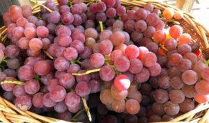Как посчитать урожайность винограда