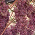 Сорт винограда «Сомерсет Сидлис»