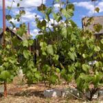 Как делается осенняя подкормка винограда?