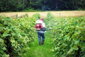 Подкормка винограда перед цветением