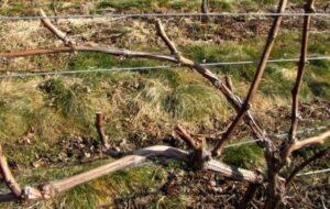 Подкормка винограда ранней весной