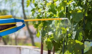Подкормка винограда весной для большого урожая