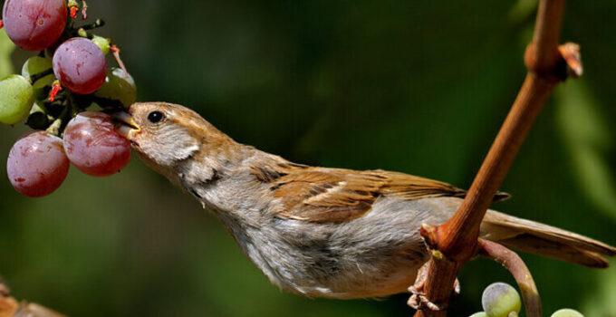 Птицы на винограде