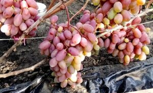 Виноград «Сенсация» перед уборкой урожая