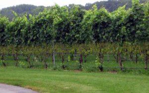 Защита винограда от дождя