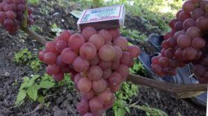 Сорт винограда Эйнсет Сидлис
