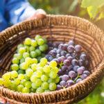 Когда собирать урожай винограда?