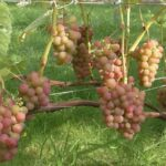 Сорт винограда «Эйнсет Сидлис»