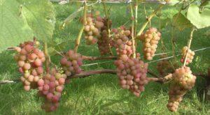 Виноград Эйнсет Сидлис