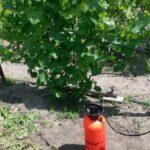 Что такое внекорневая подкормка винограда?