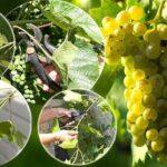 Урожай винограда на пасынках