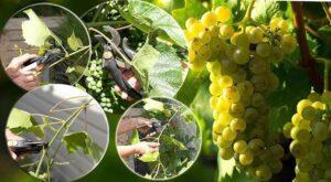 Пасынковый урожай винограда
