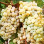 Сорт винограда «Цитронный Магарача»